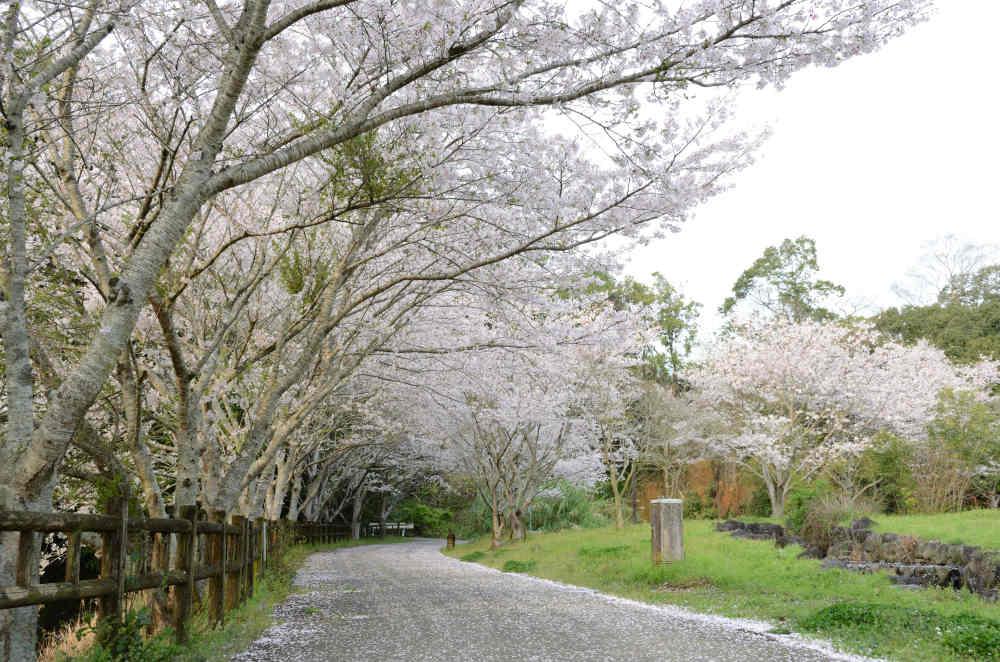 川頭川沿いの桜並木